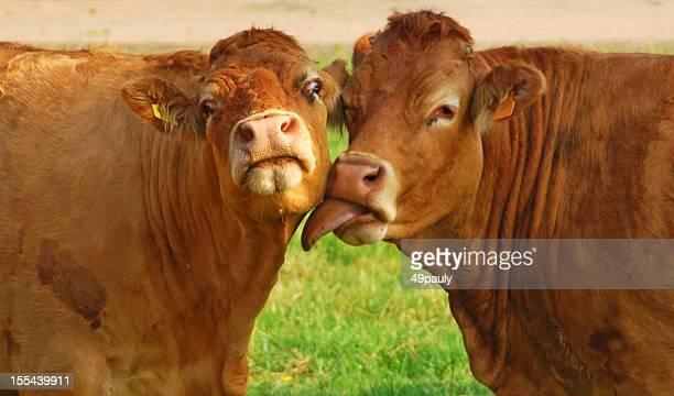 Kissing Charolais cow`s