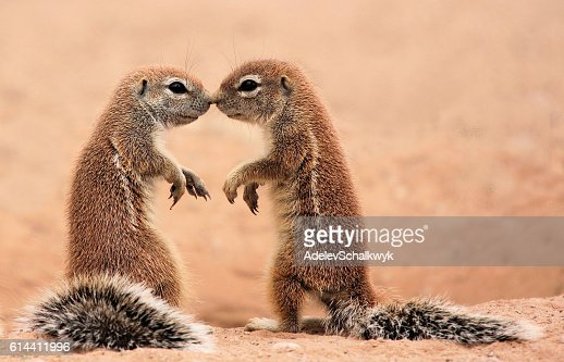 Kissing ground Squirrels : Foto stock
