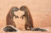 Two ground squirrels touching noses. They do this to confirm that they are siblings. These 2 touch their noses and mimic each other