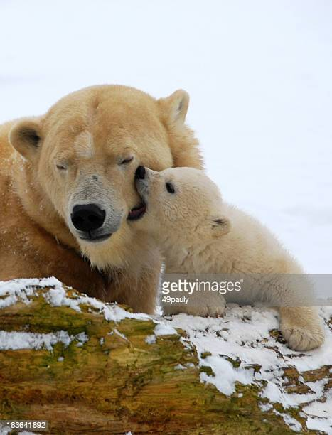 Kissing polar bear cub.