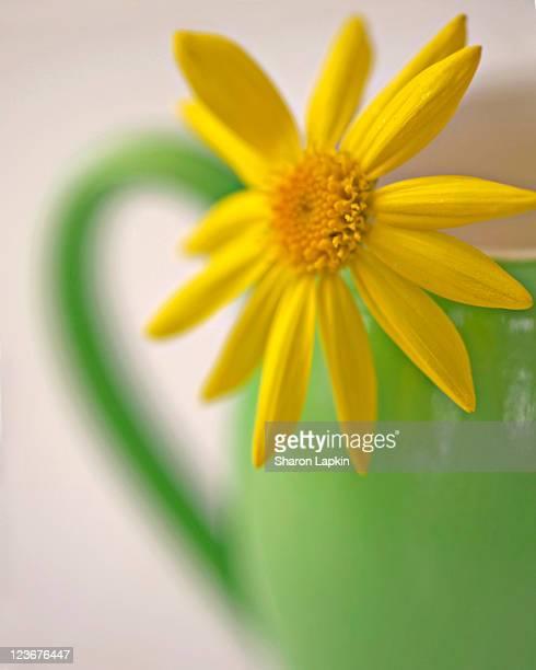 Kitchen daisy