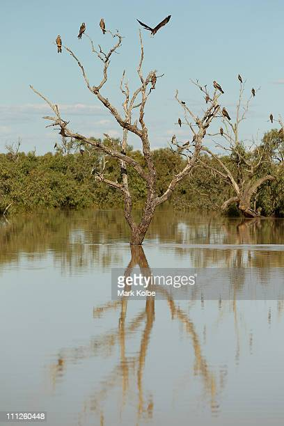 Kites perch in a dead tree in the flooded Diamantina River on March 28 2011 in Birdsville Australia Queensland recently suffered a series of extreme...