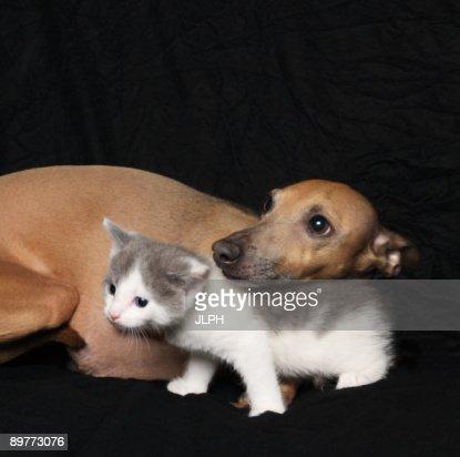 Kitten and dog on black background : Stock Photo