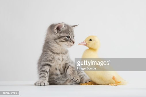 Kitten and duckling face to face, studio shot : Stock Photo