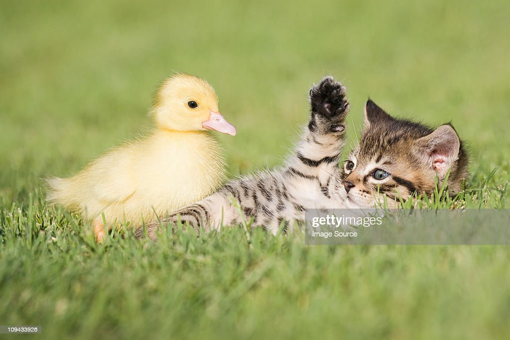 Kitten and duckling on grass : Stock Photo