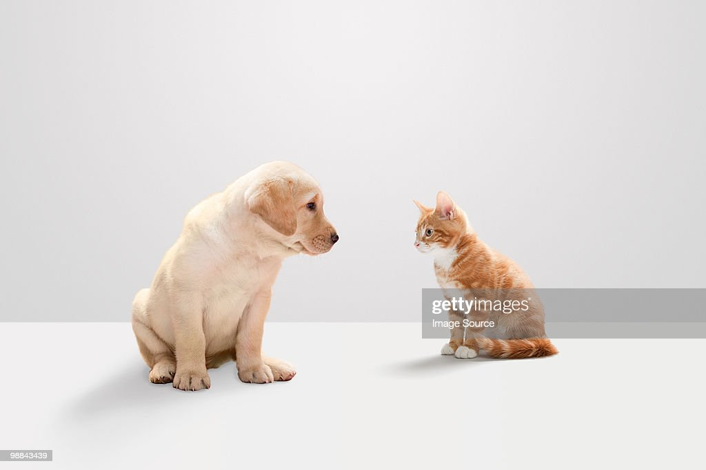Kitten and labrador puppy : Stock Photo