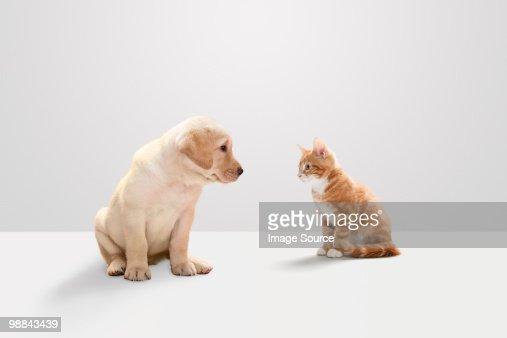Kitten and labrador puppy : Stock Photo