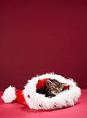 Kitten asleep in Christmas hat