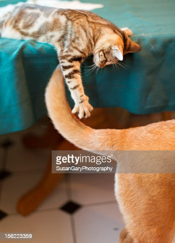 Kitten Attacking Dogs Tail : Stock Photo