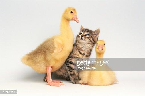 Kitten between two ducklings