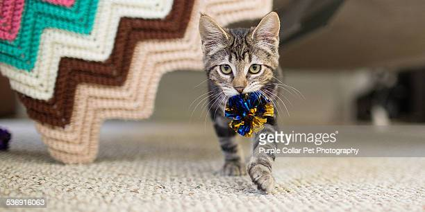 Kitten Carrying Toy in Mouth