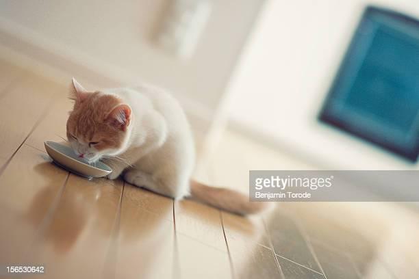 Kitten drinking from bowl of milk