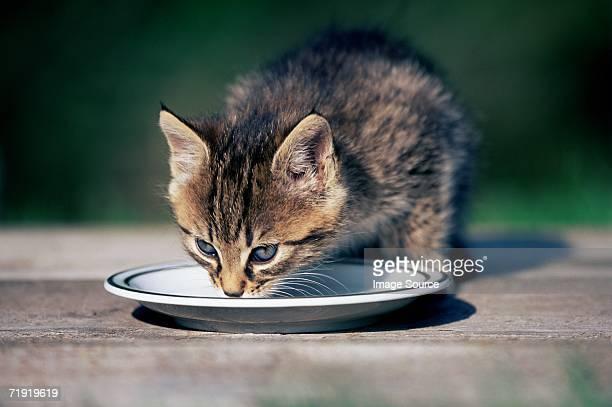 Kitten drinking milk from a saucer