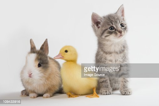 Kitten, duckling, and rabbit, studio shot : Stock Photo