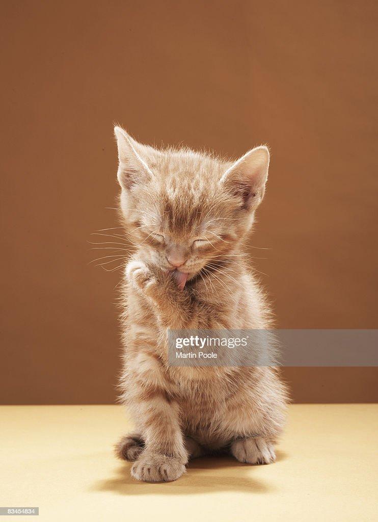 Kitten grooming : Stock Photo