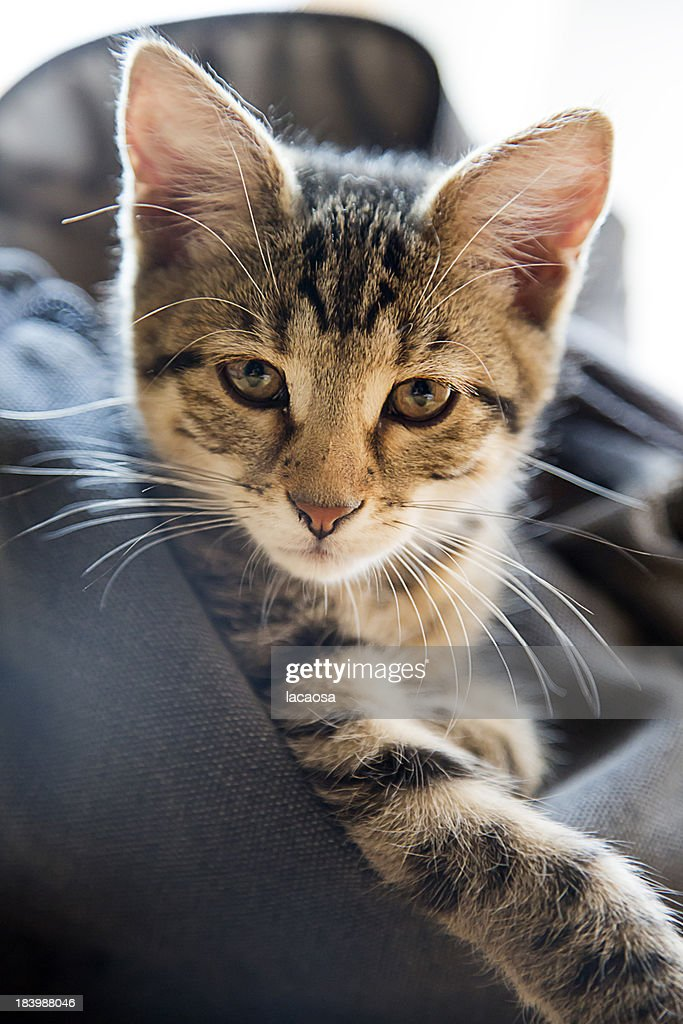 kitten in a bag : Stock Photo