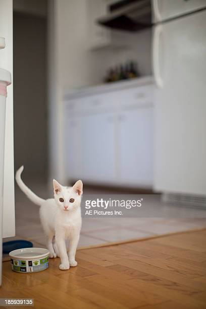 Kitten in kitchen