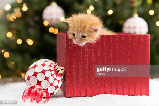 Kitten in red box at Christmas