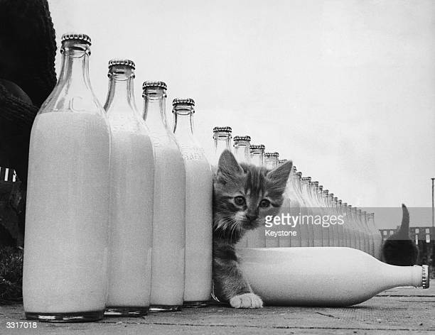 A kitten is surrounded by milk bottles bigger than he is