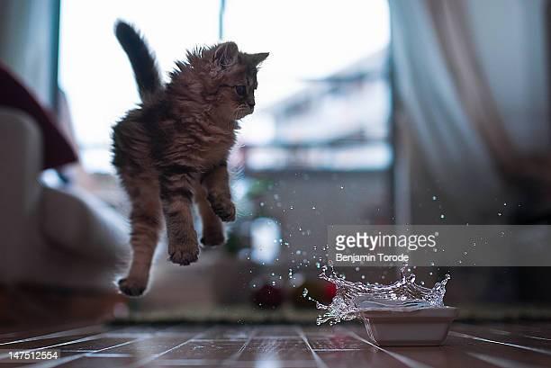 Kitten jumping at splashing bowl of water