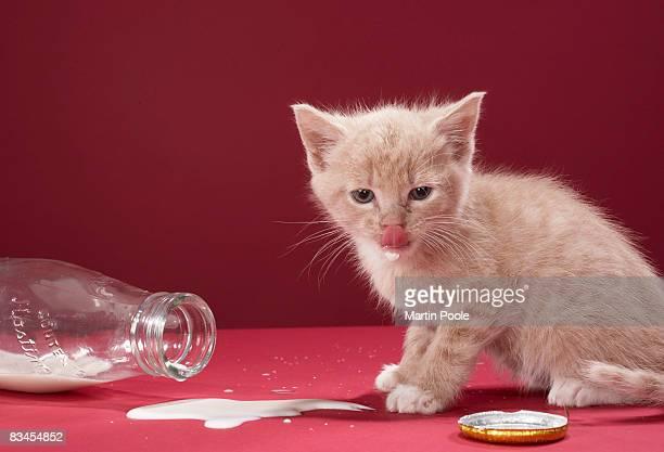 Kitten licking spilt milk from bottle