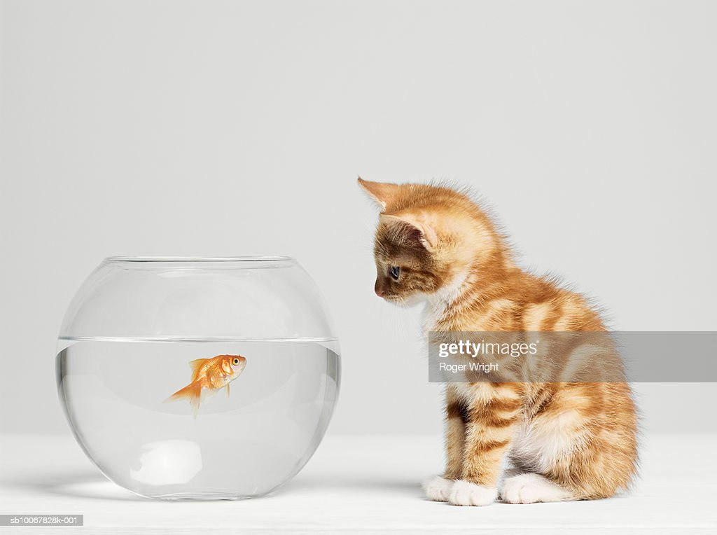 Kitten looking at fish in bowl, side view, studio shot : Stock Photo