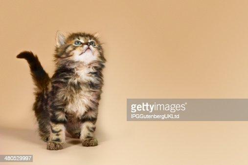 Kitten Looking Up : Stock Photo