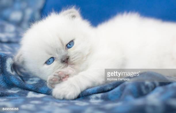 Kitten Lying in Warm Blue Blanket
