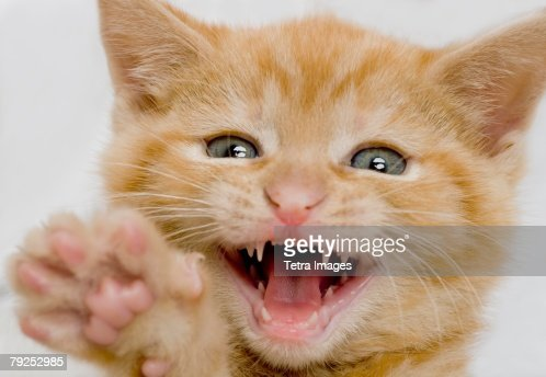 Kitten making a funny face : Stock Photo
