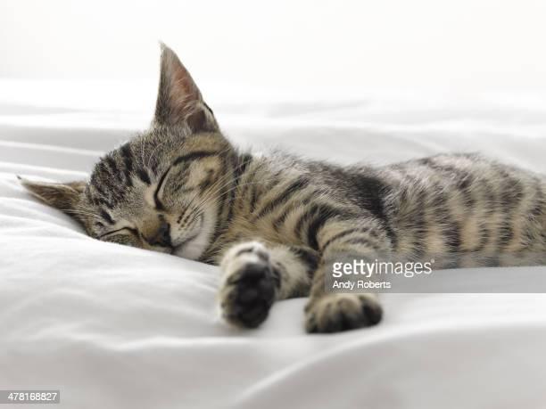 Chaton faire la sieste sur les couvertures