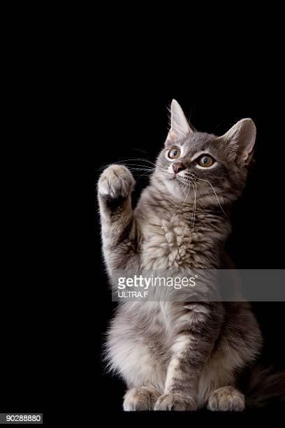 A kitten of Saiberian cat
