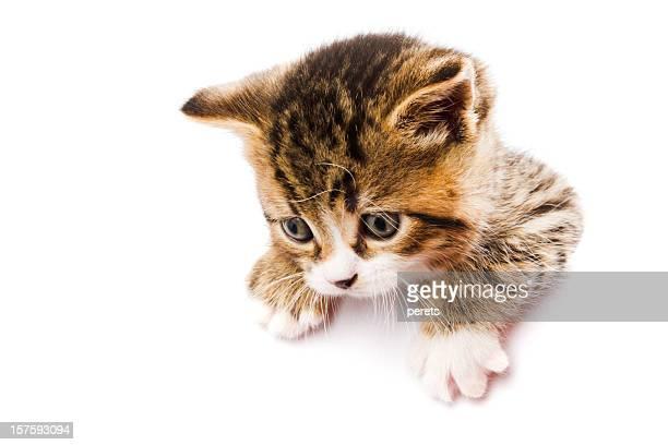 kitten on the white card