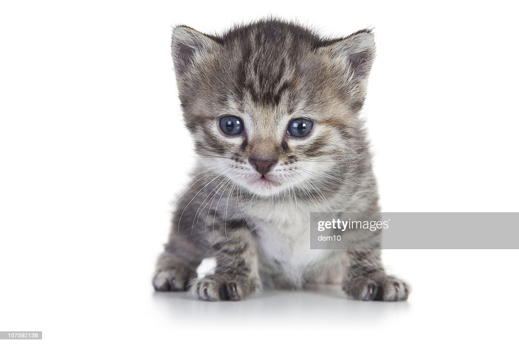 Kitten on White Background : Stock Photo