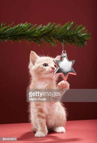 Kitten pawing Christmas decoration on tree : Stock Photo