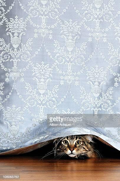 Kitten peeking out under a curtain