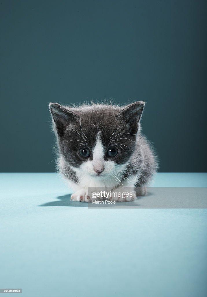 Kitten peering into camera : Stock Photo