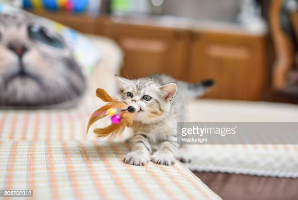 kitten play with a cat feather toy