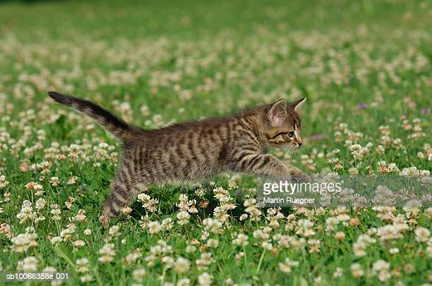 Kitten playing in meadow
