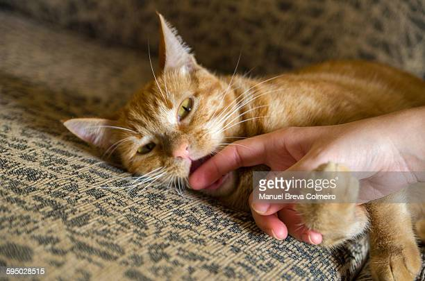 Kitten playing to bite a hand