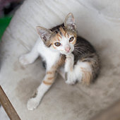 Cute kitten scratching, having problems with fleas.