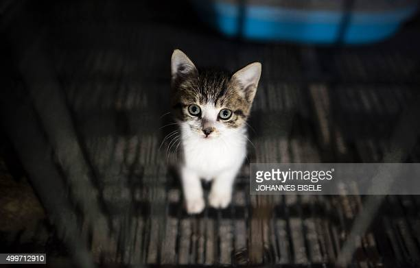 A kitten sits in his enclosure at a Buddhist temple in the suburbs of Shanghai on December 3 2015 A monk named Zhi Xiang has given shelter to some...