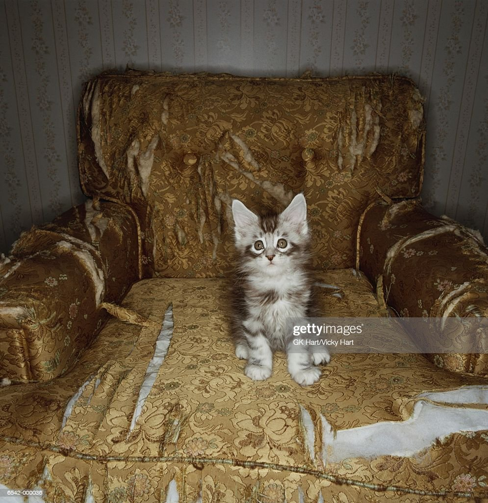 Kitten Sits on Torn Chair