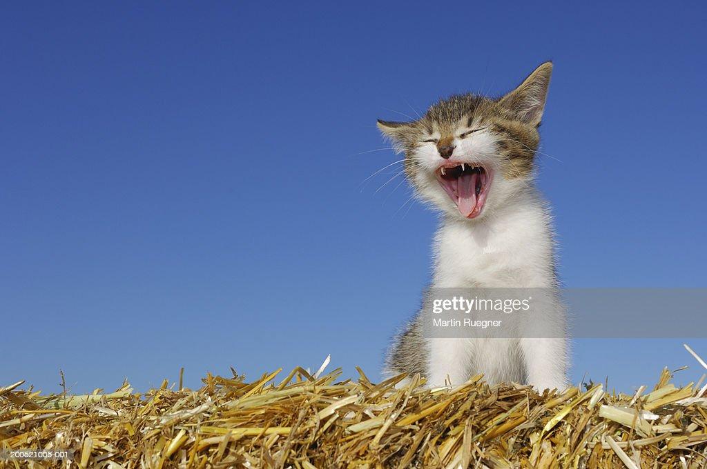Kitten sitting on straw, yawning, close-up : Stock Photo