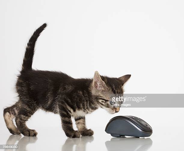 Kitten smelling computer mouse