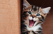 a 6 week old tabby kitten sitting in a cardboard box and yawning but it really looks like a happy smile