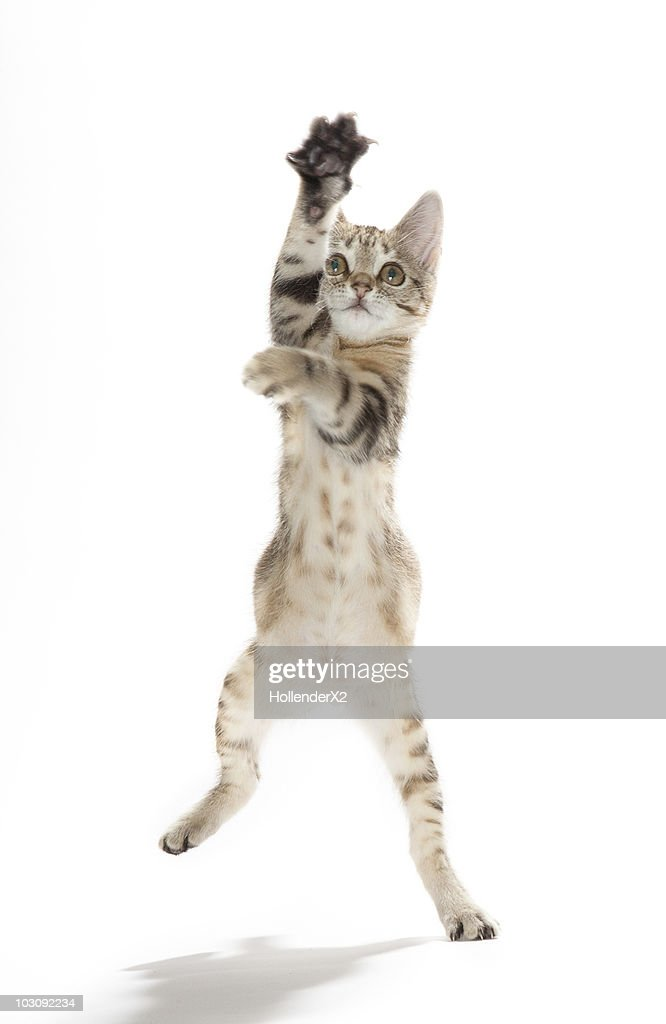 Kitten standing on back paws : Stock Photo