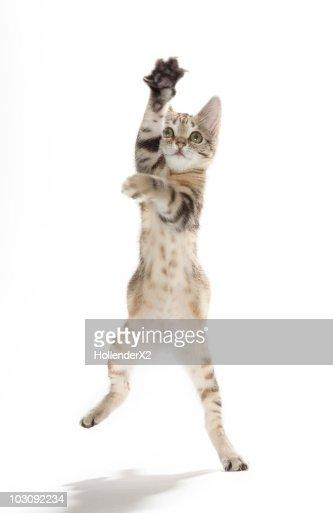 Kitten standing on back paws : Stock Photo