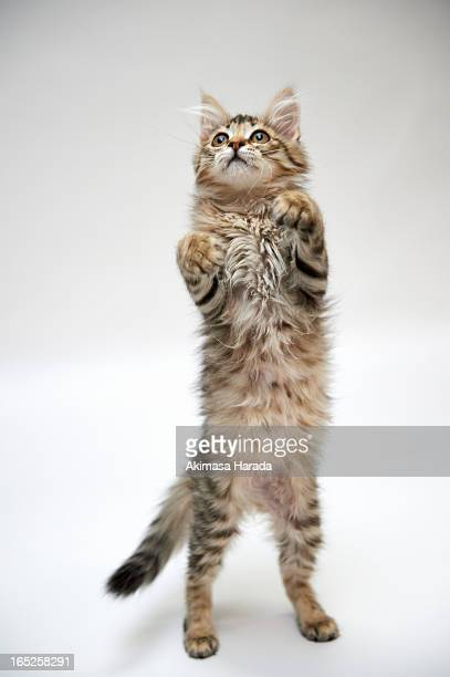 kitten standing