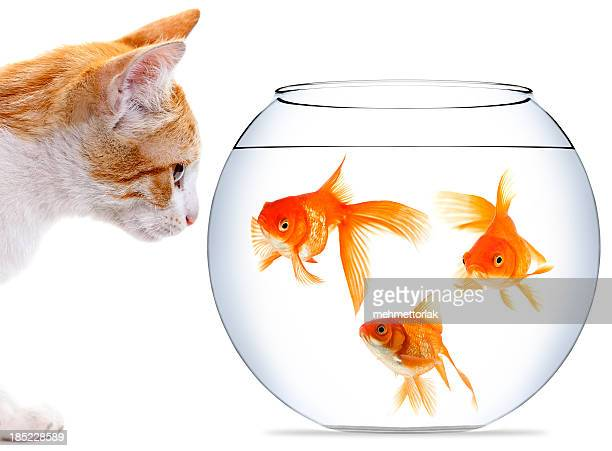Kitten staring at three goldfish in bowl