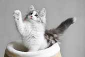 Kitten white background